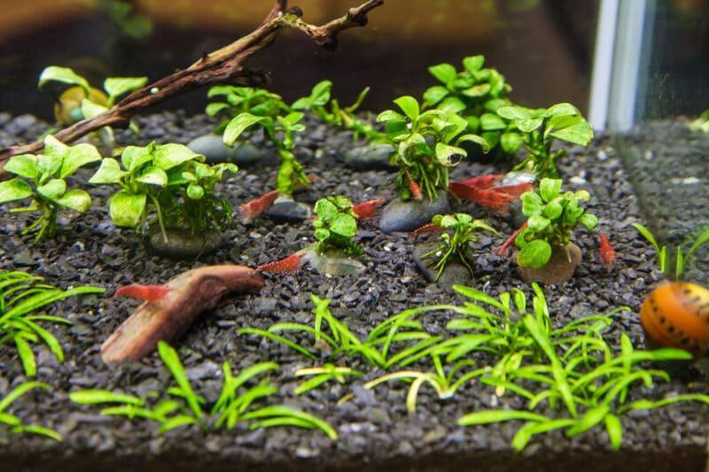 Для аквариума рекомендован мелкий субстрат тёмного цвета