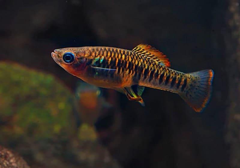 Рыбка шустрая и не очень миролюбива даже по отношению к своим сородичам