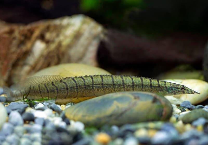Зебровый считается одним из самых больших видов макрогнатуса