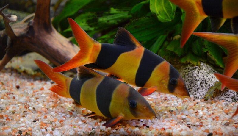 Корм вносится в аквариум 1–2 раза в день в небольшом объеме