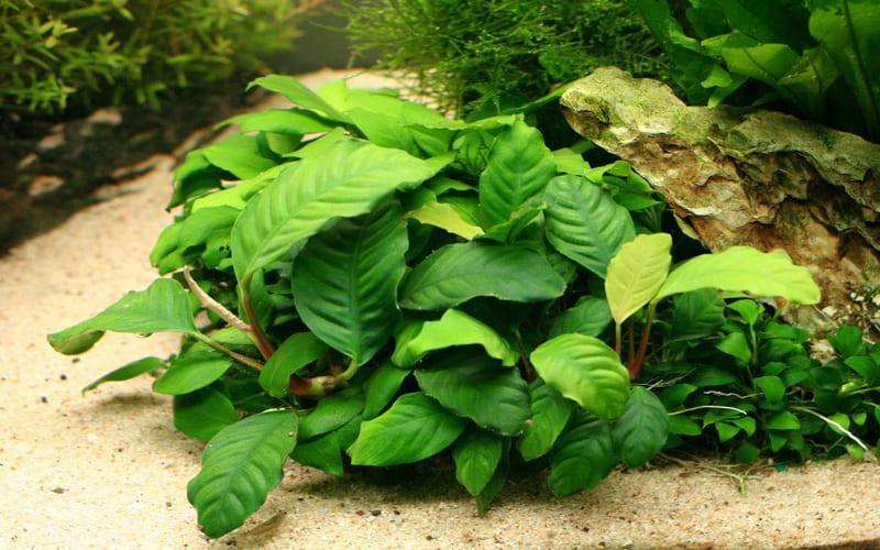 Растение Анубиас