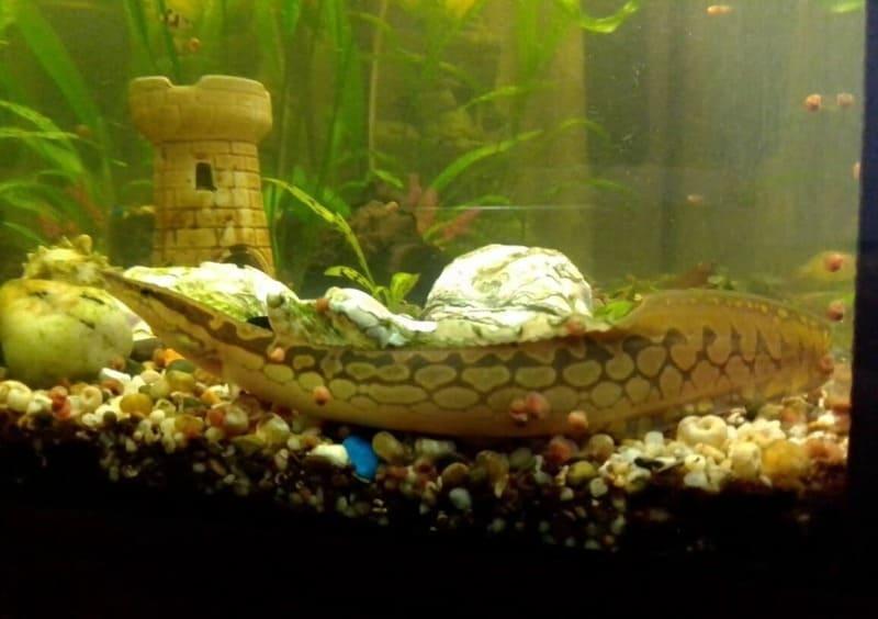 Один угорь может прожить в 100-литровом аквариуме