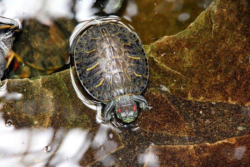 В воде у красноухой черепахи проходит вся жизнь – активность, сон, прием пищи