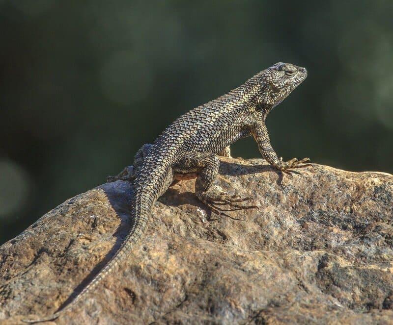 Тело ящерицы имеет зауженную треугольную голову и удлиненный хвост