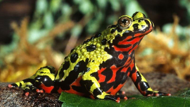 Живот у дальневосточной лягушки обладает ярко-оранжевым оттенком
