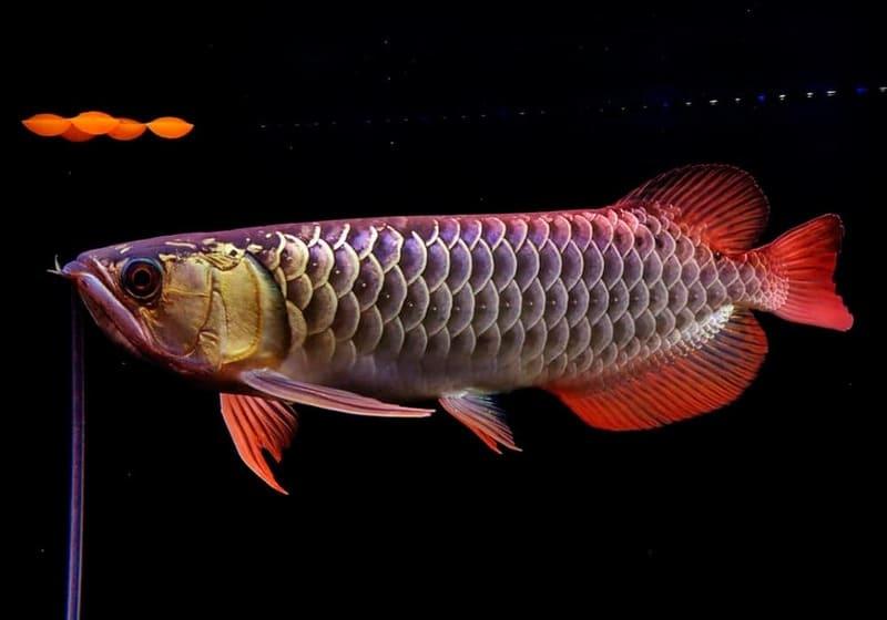 Аравана - древняя аквариумная хищница, насчитывающая около 25 млн лет