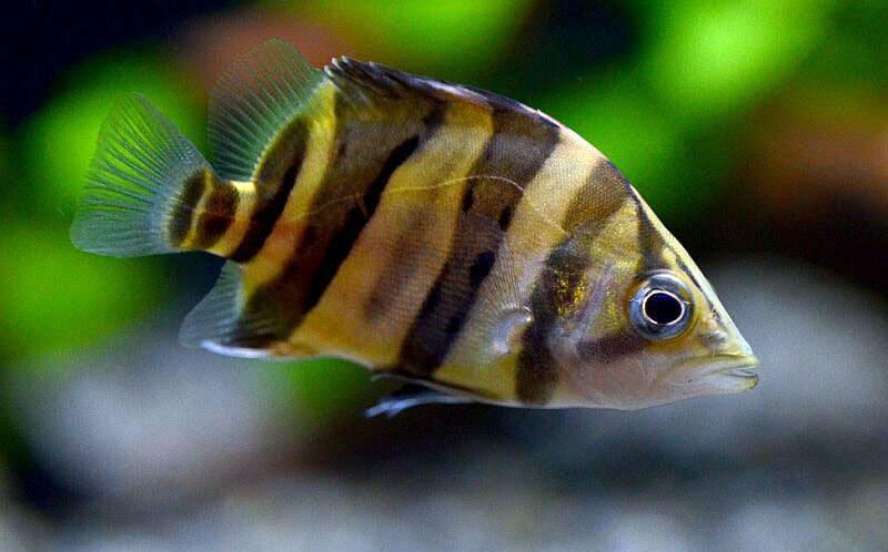 Плотоядный фенотип, обитающий в соленых водах Азии