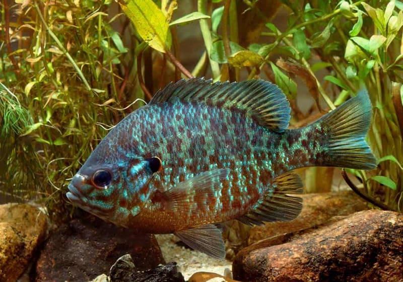Миниатюрная рыбка семейства центрарховые родом из США