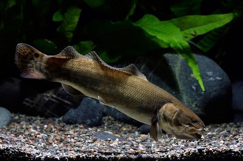 Массивная лучеперая рыбина в условиях неволи встречается редко