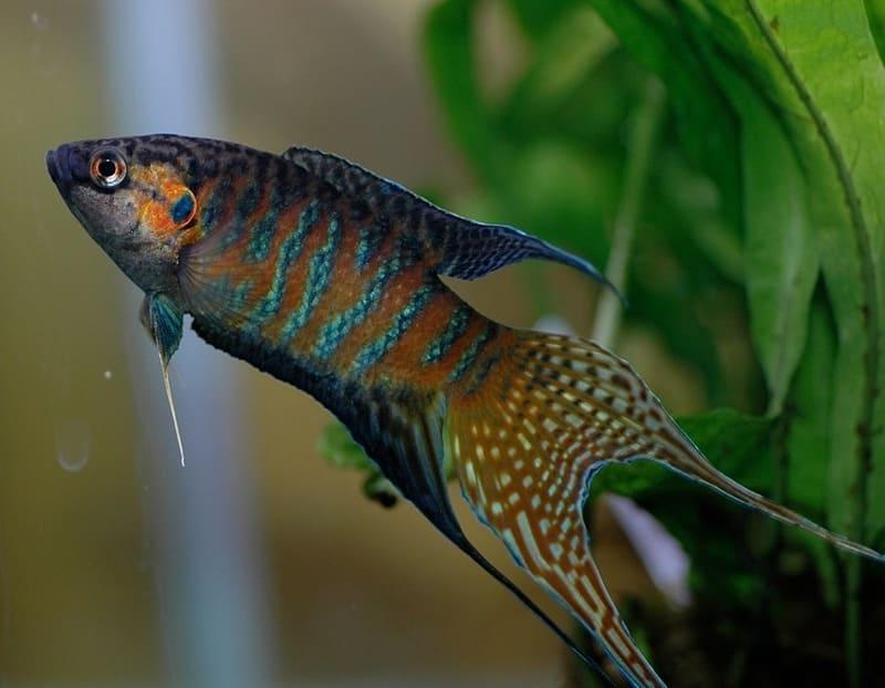 Макропод был одним из первых адаптирован для содержания в аквариуме