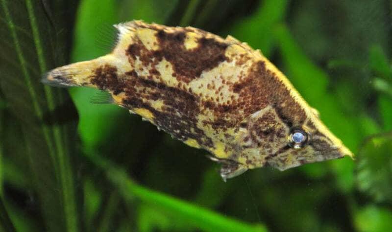 Плотоядная амазонская хищница небольшого размера (до 10 см)