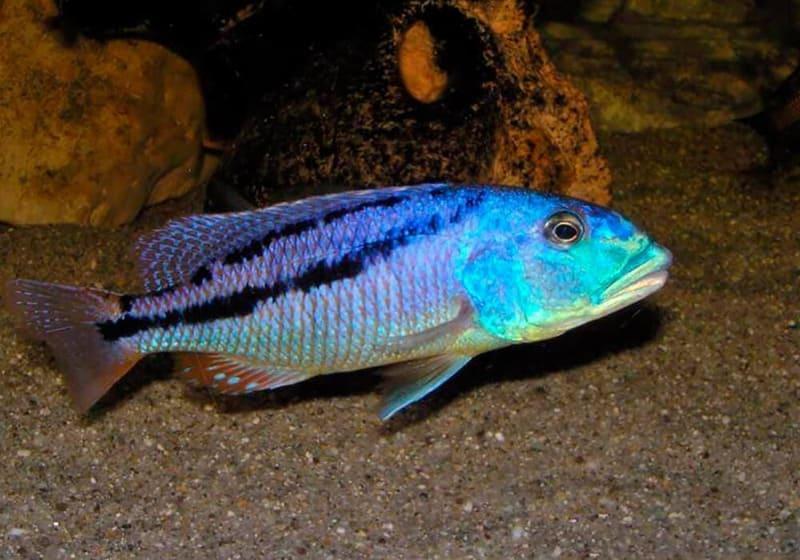 Африканская хищница из Малави, вырастающая до 25-30 см