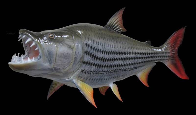 Большая африканская рыбина, вырастающая до 70 см