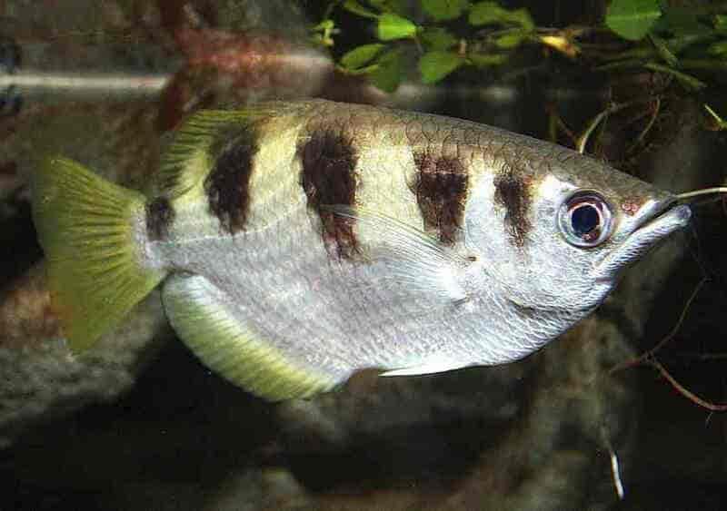 Окунеобразный представитель серебристого окраса с вертикальными полосками