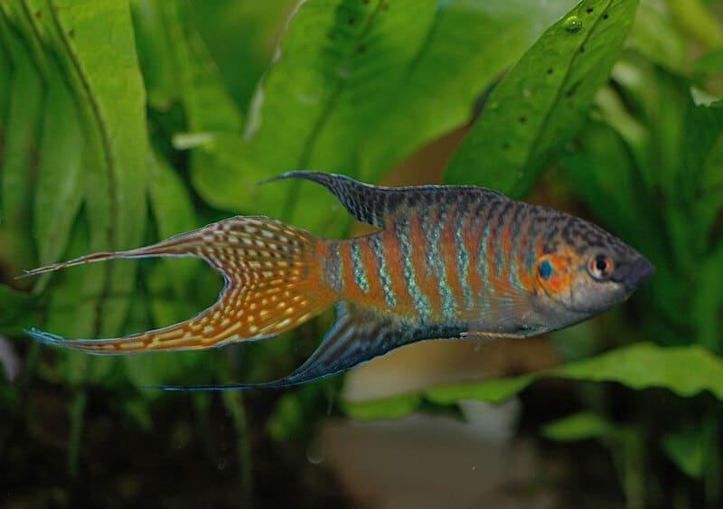 Этот вид вырастает до 6-8 см, отличается ярким и пестрым окрасом