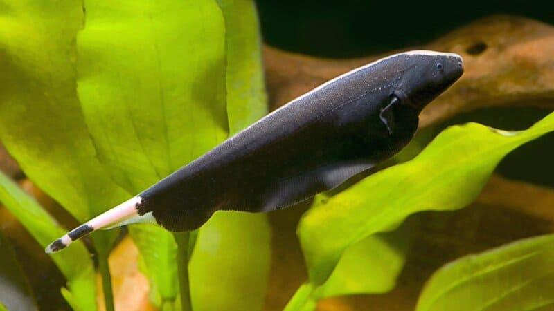 Амазонская воинственная хищница, вырастающая до 30 см