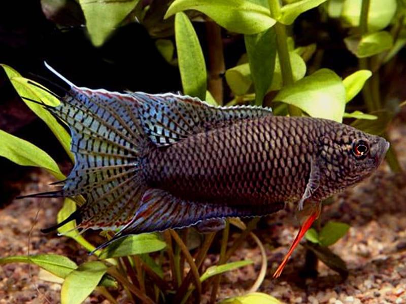 Практически монохромный фенотип, вырастает до 12 см