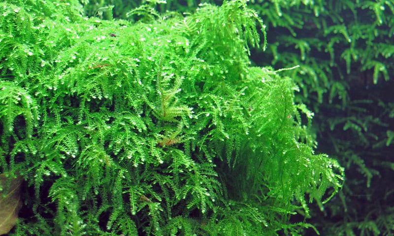 Плачущий Мосс растет всего около 3 см в высоту, в ширину — до 5 см