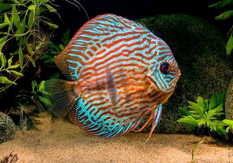 Дискус - одни из самых прекрасных аквариумных обитателей