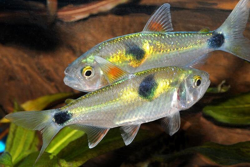 Эти рыбки отличаются странным поведением