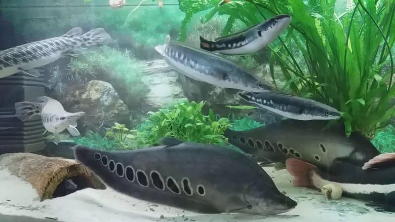 Объём воды для хищных рыб должен быть не менее 50 литров на одну особь