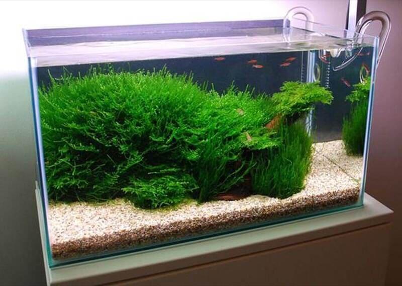 Для яванского мха подойдет малонаселенный мелкими рыбками аквариум