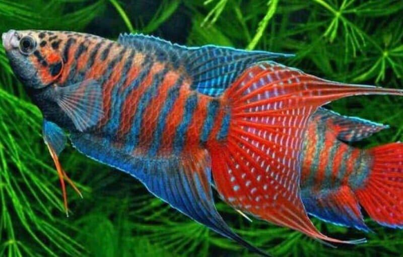 Особенностью лабиринтовых рыб является дополнительный дыхательный орган